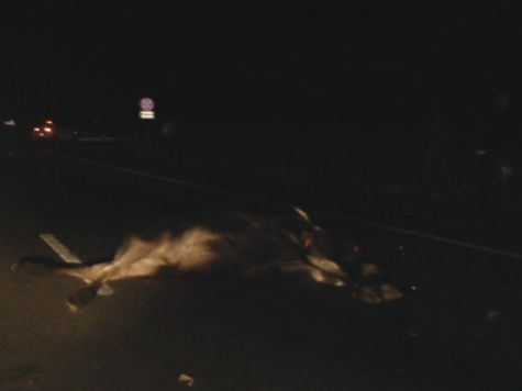 Автоледи надороге Кострома— Иваново сбила лося